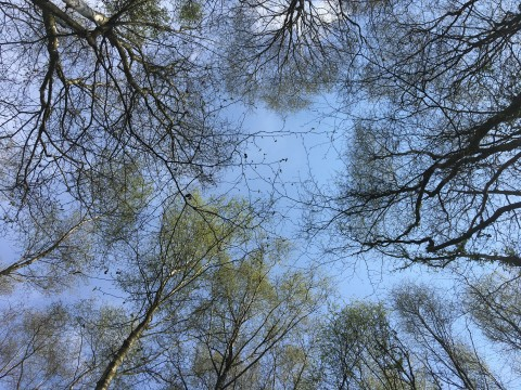 Looking upwards to top of multiple trees with branches surrounding the edge of the image