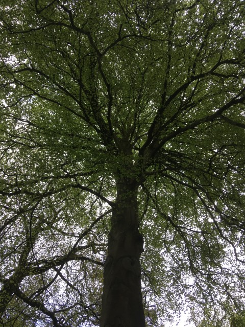 Looking up at tree branches