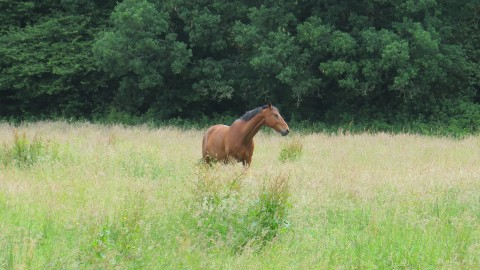 Horse in field, turning its head