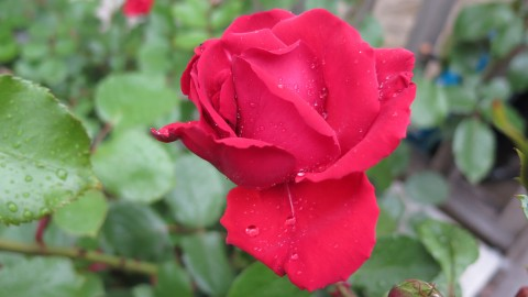 Close up of rose with water droplets following rain